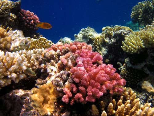 коралл красное море