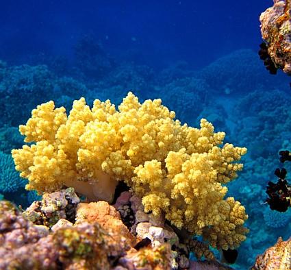 жёлтый коралл