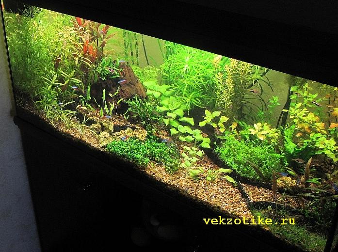 Запуск голландского аквариума