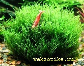 Фонтиналис, мох ключевой